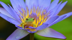 Preview wallpaper frog, lotus, amphibian