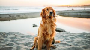 Golden Retriever Full Hd Hdtv Fhd 1080p Wallpapers Hd Desktop