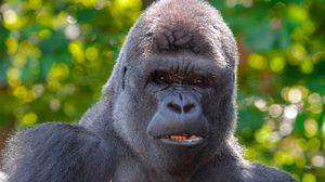 Preview wallpaper gorilla, black, primate, glance, animal