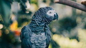 Preview wallpaper gray parrot, parrot, bird, branch