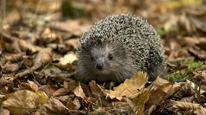 Preview wallpaper hedgehog, leaves, autumn, grass