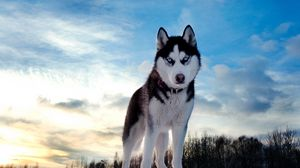 Preview wallpaper husky, dog, hill, snow