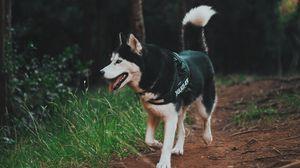 Preview wallpaper husky, dog, walk