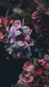 Preview wallpaper hydrangea, bush, petals, red, blue