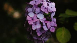 Preview wallpaper hydrangea, flowers, inflorescence, lilac, bloom