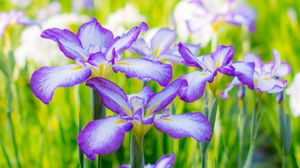 Preview wallpaper irises, summer, flowerbed, flowers, blossom