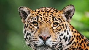 Preview wallpaper jaguar, face, color