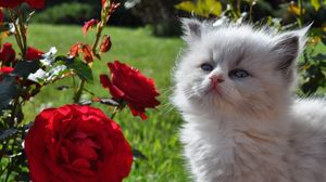 Preview wallpaper kitten, fluffy, face, rose, grass, look