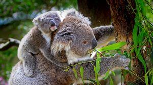 Preview wallpaper koala, baby, tree, eucalyptus