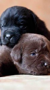 Preview wallpaper labrador, retriever, dogs, puppies, couple