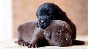 Preview wallpaper labrador, retriever, dogs, puppies, couple