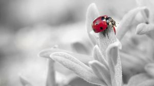 Preview wallpaper ladybug, insect, flower, petals