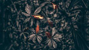 Preview wallpaper leaves, plant, drops, black