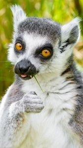 Preview wallpaper lemur, funny, cool, grass, eat, animal
