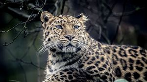 Preview wallpaper leopard, look, sadness, predator, muzzle
