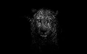 Preview wallpaper leopard, predator, muzzle, bw