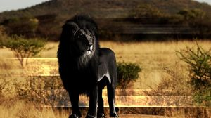Preview wallpaper lion, black lion, mane, rock