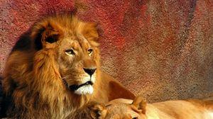 Preview wallpaper lion, couple, mane, predators, big cat