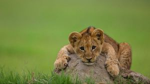 Preview wallpaper lion, cub, stone, lying