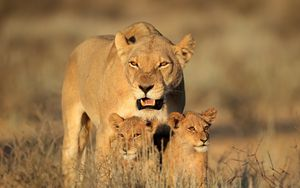 Preview wallpaper lion, female, lion cubs, family, africa, predators