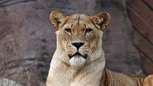 Preview wallpaper lion, lioness, predator, lies, look