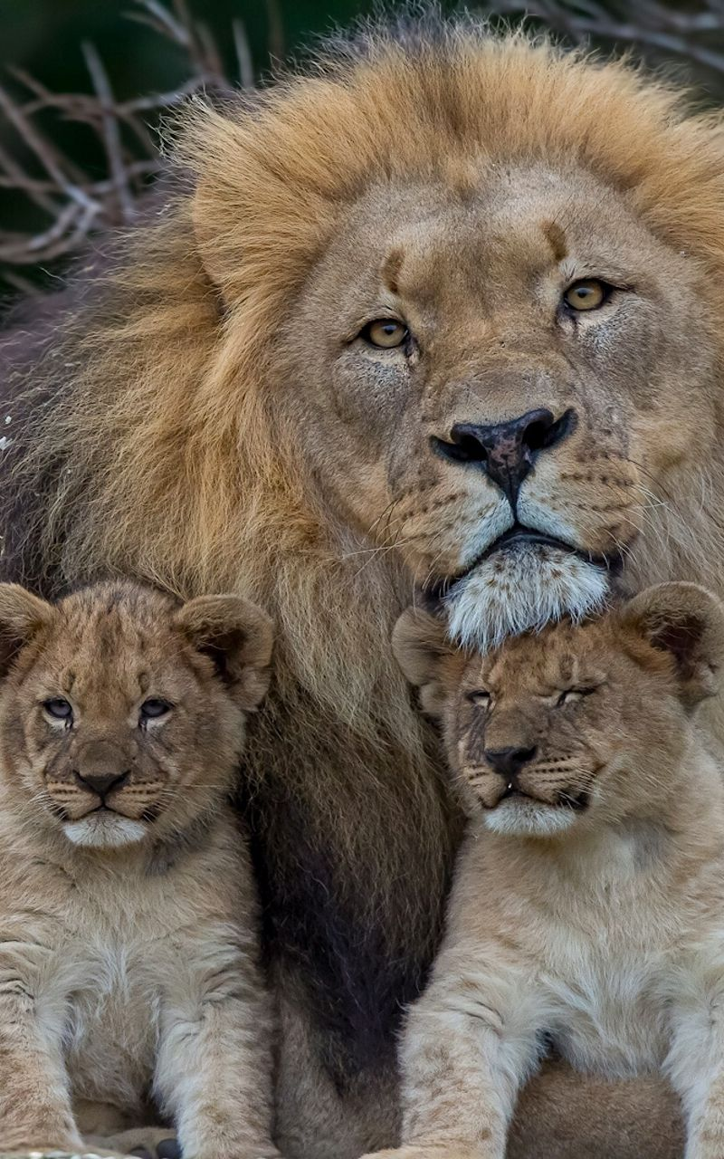 800x1280 Wallpaper lion, lioness, young, family, predators