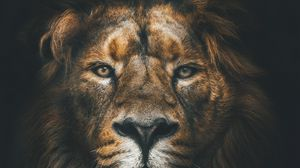 Lion Full Hd Hdtv Fhd 1080p Wallpapers Hd Desktop Backgrounds