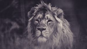 Preview wallpaper lion, predator, mane, sight, bw