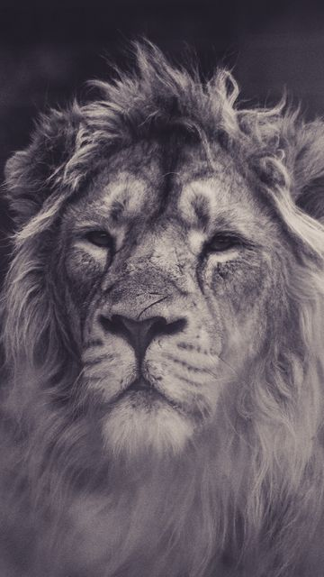 360x640 Wallpaper lion, predator, mane, sight, bw