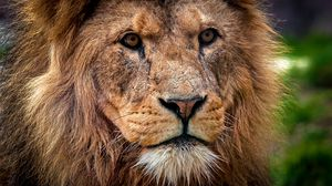 Preview Wallpaper Lion Predator Muzzle Close Up King Of Beasts