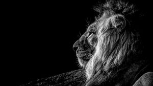 Preview wallpaper lion, profile, bw