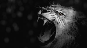 Preview wallpaper lion, grin, bw, canines, predator, king of beasts