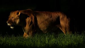 Preview wallpaper lion, shadow, dark, grass, walking, hunting, predator