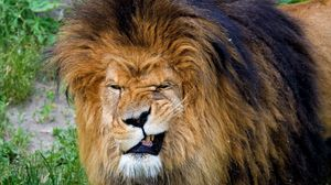 Preview wallpaper lion, teeth, aggression, face, mane, predator, king of beasts, big cat