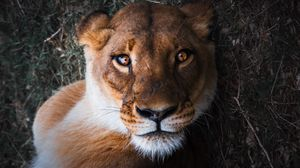Preview wallpaper lioness, lion, muzzle, predator, look, bewitching