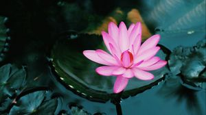 Preview wallpaper lotus, flower, pink, plant, water