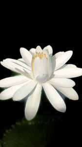 Preview wallpaper lotus, white, bloom, dark background