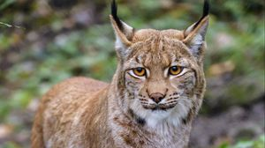 Preview wallpaper lynx, animal, big cat, brown, glance
