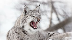 Preview wallpaper lynx, predator, snow, aggression