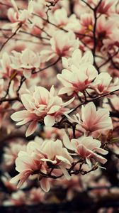 Preview wallpaper magnolia, flowers, branches, plant, flowering, spring
