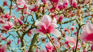 Preview wallpaper magnolia, flowers, pink, tree, bloom