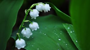 Preview wallpaper muguet, flower, bell, drops, dew, morning, leaves