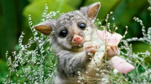 Preview wallpaper opossum, grass, flowers, animal