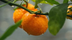Preview wallpaper oranges, fruit, branches, plant, wet, orange