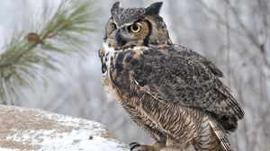 Preview wallpaper owl, bird, predator, look