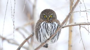 Preview wallpaper owl, branch, winter, bird