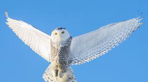 Preview wallpaper owl, flight, sky, predator, wings