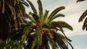 Preview wallpaper palm, tree, tropics, foliage