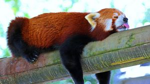 Preview wallpaper panda, lesser panda, red panda, branch, rest, sleep