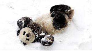 Preview wallpaper panda, snow, playful, spotted, bamboo bear